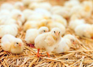 Brak apetytu u kurczat – na co moze wskazywac